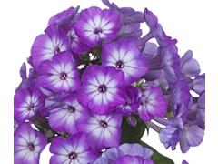 Phlox Purple