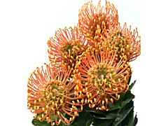 Pincushion Protea  Bright Orange