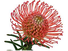 Pincushion Protea  Red
