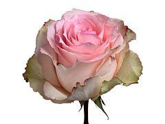 Pink Rose Esperanze