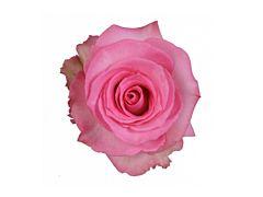 Pink Rose Priceless