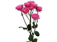 Spray Roses Follies