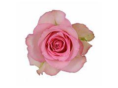 Pink Rose Sweet Unique