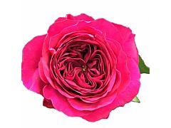 Garden Rose Darcey