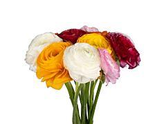 Ranunculus - Assorted