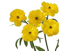 Ranunculus butterfly - Yellow