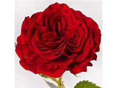 Garden Rose Mayra Red