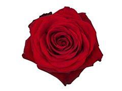 Red Rose 50 cm Freedom