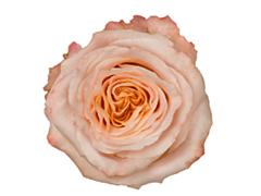 Peach rose Shimer