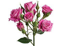 Spray Roses Purple Sky