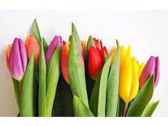 Stadard Tulips Assorted
