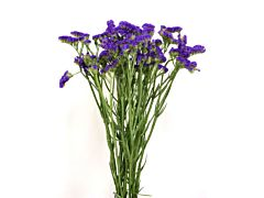 Statice — purple