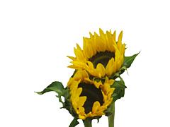 Sunflowers medium - Black Center