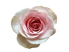 Blush Pink Rose Novia