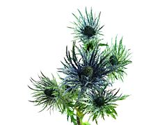 Thistle Eryngium Jack Pot Blue