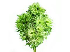 Thistle Eryngium Jack Pot Green