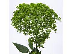 Trachelium - green