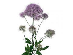Trachelium - lavender