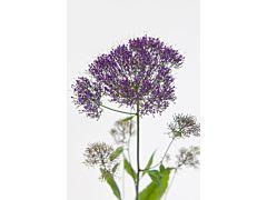 Trachelium - purple
