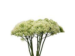 Trachelium - white