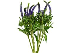 Veronica -  purple