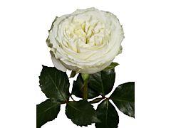Garden Rose Mayra White