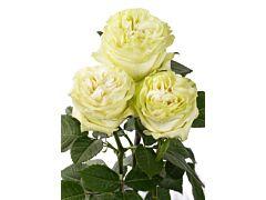 Garden Rose Moonstone