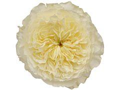 Garden Rose Patience