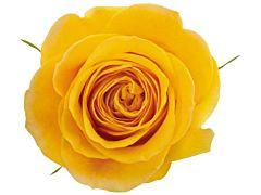 Yellow Rose Brighton
