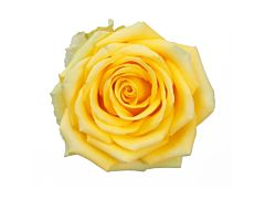Yellow Rose High & Exotic