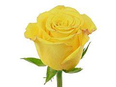 Yellow Rose Sonrisa